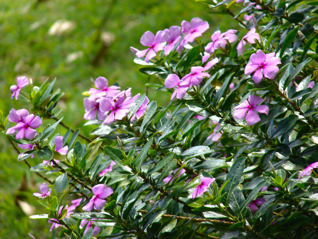 Растение высаживается в теплое время года на солнечных местах клумбы