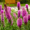Цветущие свечи для вашего сада: сорта лиатриса и тонкости ухода за многолетником фото