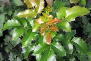 Фото 9 Падуболистная магония или орегонский виноград: хитрости размножения, ухода и борьбы с болезнями