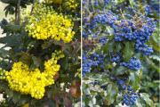 Фото 10 Падуболистная магония или орегонский виноград: хитрости размножения, ухода и борьбы с болезнями