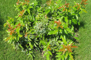 Фото 12 Падуболистная магония или орегонский виноград: хитрости размножения, ухода и борьбы с болезнями