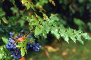 Фото 7 Падуболистная магония или орегонский виноград: хитрости размножения, ухода и борьбы с болезнями