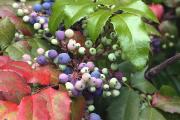 Фото 1 Падуболистная магония или орегонский виноград: хитрости размножения, ухода и борьбы с болезнями