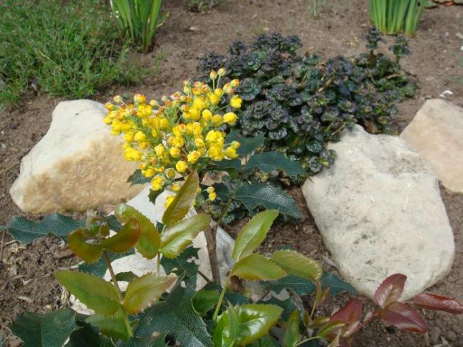 Падуболистная магония или орегонский виноград: хитрости размножения, ухода и борьбы с болезнями