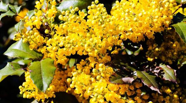 Растение имеет красивые листья и соцветия, поэтому часто используется в ландшафтном дизайне