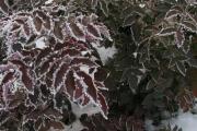 Фото 6 Падуболистная магония или орегонский виноград: хитрости размножения, ухода и борьбы с болезнями