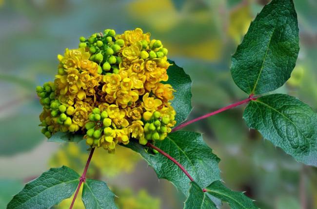 Декоративный кустарник, содержащий множество полезных веществ
