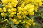 Фото 17 Падуболистная магония или орегонский виноград: хитрости размножения, ухода и борьбы с болезнями