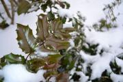 Фото 4 Падуболистная магония или орегонский виноград: хитрости размножения, ухода и борьбы с болезнями