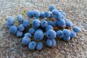 Фото 20 Падуболистная магония или орегонский виноград: хитрости размножения, ухода и борьбы с болезнями