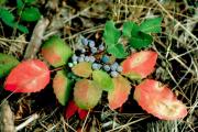 Фото 3 Падуболистная магония или орегонский виноград: хитрости размножения, ухода и борьбы с болезнями