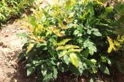 Фото 23 Падуболистная магония или орегонский виноград: хитрости размножения, ухода и борьбы с болезнями