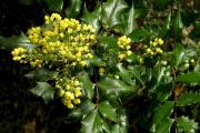 Фото 25 Падуболистная магония или орегонский виноград: хитрости размножения, ухода и борьбы с болезнями