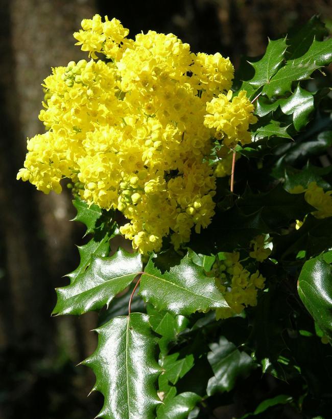 Великолепный вечнозеленый кустарник с роскошным цветением