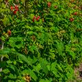Малиновое дерево Таруса: правильный выбор саженца и технология выращивания фото