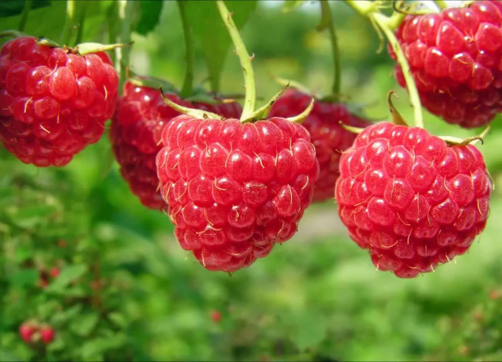 Малиновое дерево Таруса: посадка, выбор саженца, выращивание