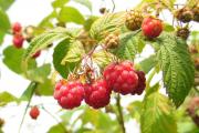 Фото 13 Малиновое дерево Таруса: правильный выбор саженца и технология выращивания