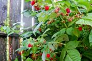 Фото 7 Малиновое дерево Таруса: правильный выбор саженца и технология выращивания