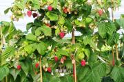 Фото 1 Малиновое дерево Таруса: правильный выбор саженца и технология выращивания