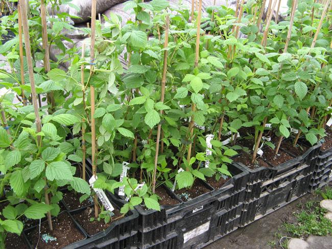 Правильно выбранные саженцы и соблюдение основных правил посадки подарят вам богатый урожай