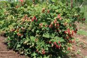Фото 23 Малиновое дерево Таруса: правильный выбор саженца и технология выращивания