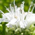 Монарда: целебные свойства, правила грамотной посадки, выращивания и лечения фото