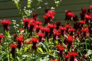 Фото 9 Монарда: целебные свойства, правила грамотной посадки, выращивания и лечения