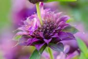 Фото 5 Монарда: целебные свойства, правила грамотной посадки, выращивания и лечения