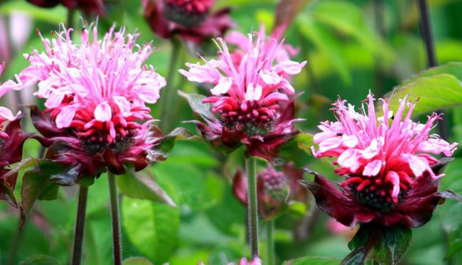 Душистое и целебное растение в вашем саду