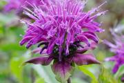 Фото 20 Монарда: целебные свойства, правила грамотной посадки, выращивания и лечения