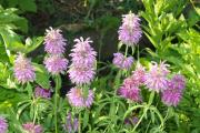 Фото 3 Монарда: целебные свойства, правила грамотной посадки, выращивания и лечения