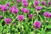 Фото 24 Монарда: целебные свойства, правила грамотной посадки, выращивания и лечения