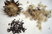 Фото 30 Монарда: целебные свойства, правила грамотной посадки, выращивания и лечения