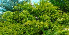 Казацкий можжевельник: популярные сорта и все тонкости посадки, ухода, лечения фото