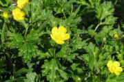 Фото 39 Ранункулюс (лютик): особенности посадки, выращивания и ухода в открытом грунте