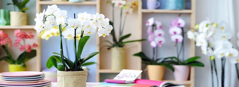 Как ухаживать за орхидеей в домашних условиях: хитрости для регулярного цветения и советы по уходу сразу после покупки