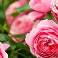 Как ухаживать за розами осенью? Посадка, обрезка, подкормка и подготовка к зиме — советы садоводов фото