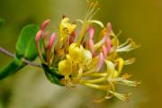 Фото 13 Каприфоль: разнообразие сортов и советы садоводов по посадке, уходу и размножении
