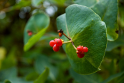 Фото 18 Каприфоль: разнообразие сортов и советы садоводов по посадке, уходу и размножении