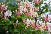 Фото 21 Каприфоль: разнообразие сортов и советы садоводов по посадке, уходу и размножении