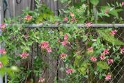 Фото 23 Каприфоль: разнообразие сортов и советы садоводов по посадке, уходу и размножении