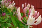 Фото 24 Каприфоль: разнообразие сортов и советы садоводов по посадке, уходу и размножении