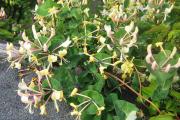Фото 25 Каприфоль: разнообразие сортов и советы садоводов по посадке, уходу и размножении
