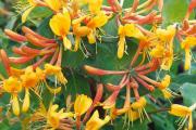 Фото 26 Каприфоль: разнообразие сортов и советы садоводов по посадке, уходу и размножении