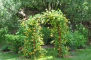 Фото 27 Каприфоль: разнообразие сортов и советы садоводов по посадке, уходу и размножении