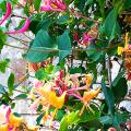 Каприфоль: разнообразие сортов и советы садоводов по посадке, уходу и размножении фото