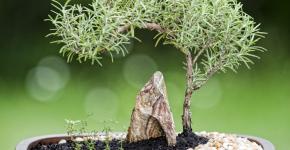 Карликовые деревья для дома: особенности ухода и 105+ уютных вариантов фото