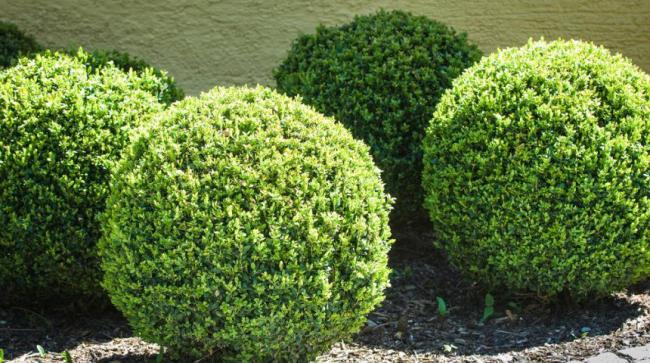 Кустарник может расти без подкормки, однако рекомендуется осенью подсыпать древесную золу
