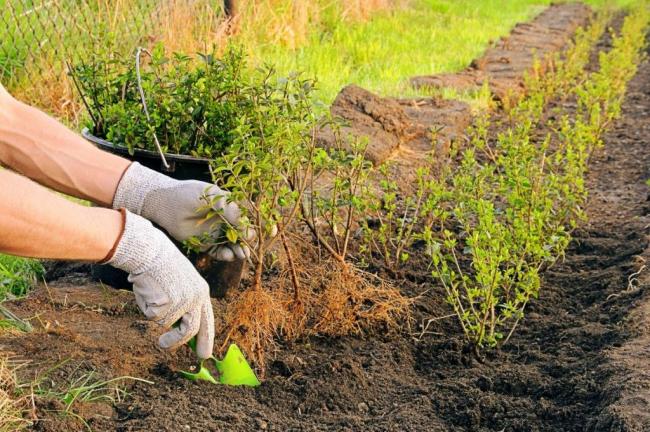 Перед высадкой в открытый грунт для достижения хорошей корневой системы рекомендуется предварительная обработка черенков стимуляторами корнеобразования