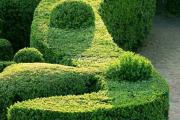 Фото 7 Бирючина обыкновенная: посадка, способы размножения и несложные правила ухода